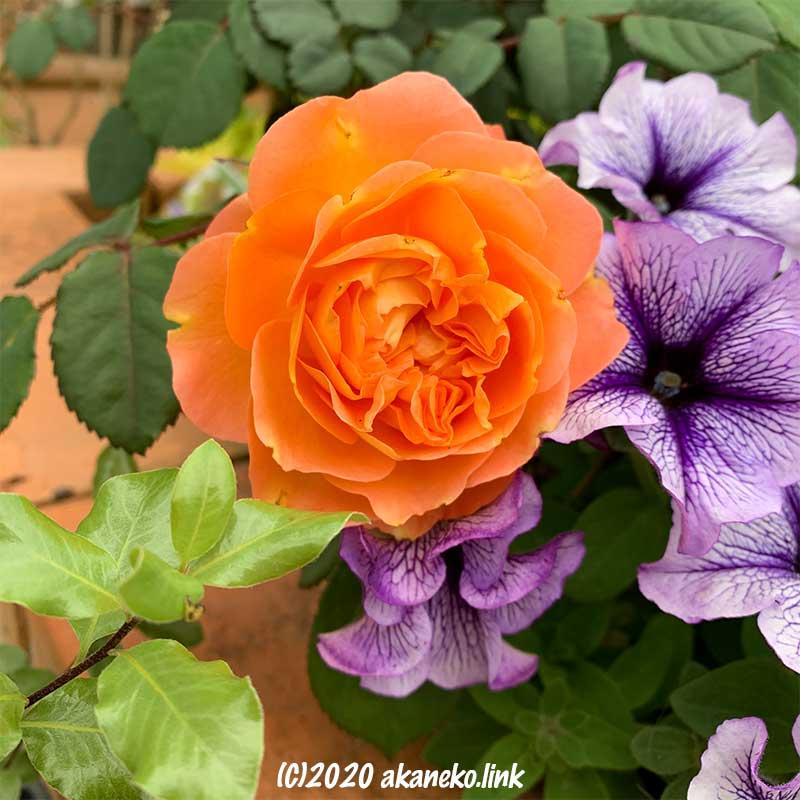 オレンジ色のバラ(レディ・エマ・ハミルトン)と紫のペチュニア