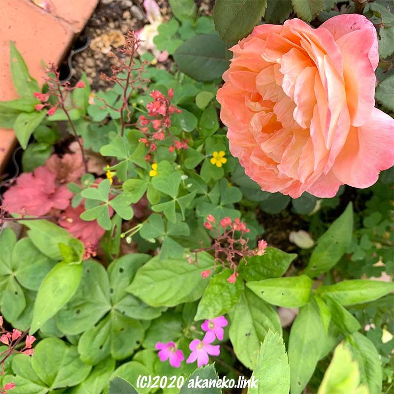 雑草のある花壇の中のバラ(レディ・エマ・ハミルトン)