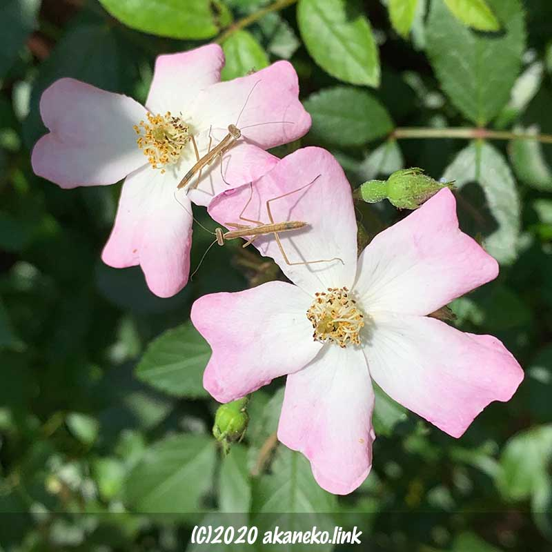 バラ(バレリーナ)の花びらの上のカマキリの幼虫