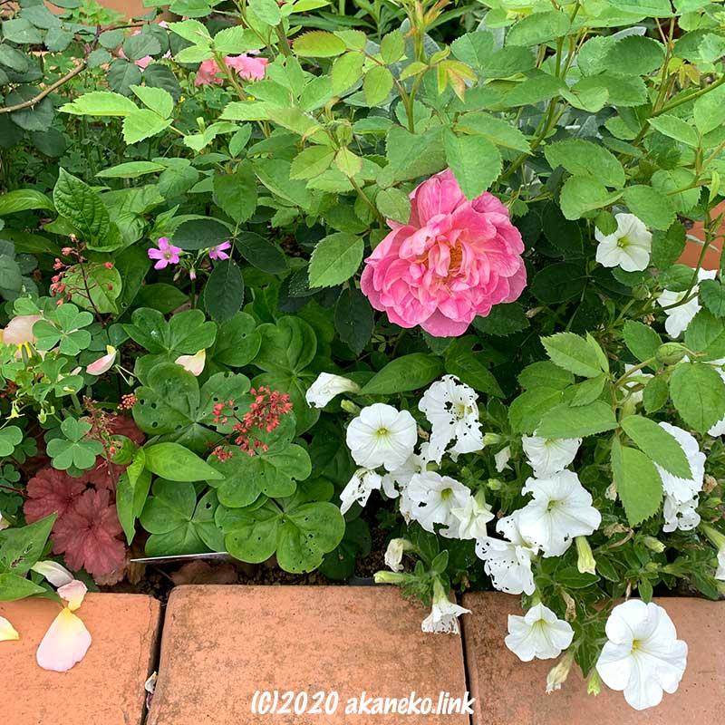 他の植物に囲まれて窮屈そうに咲いているバラ(ウインドフラワー)