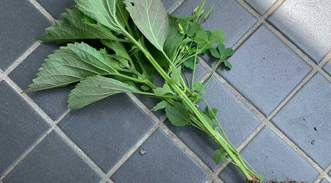 青じそとセロリ:野良野菜の収穫