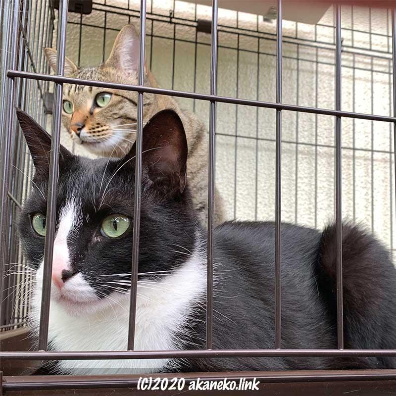 ケージの中から何かをロックオン中の猫2匹
