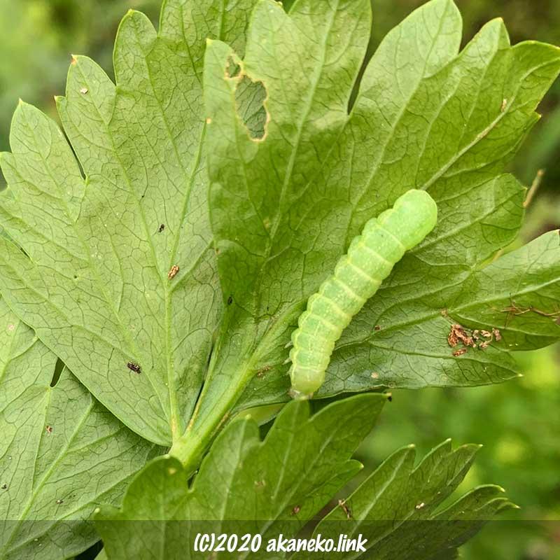 セロリの葉裏の青虫(おそらくタマナギンウワバの幼虫)