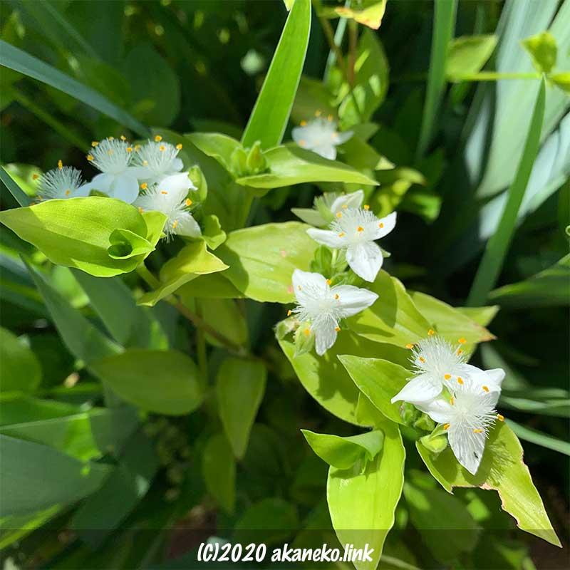 群生するトキワツユクサの白い花
