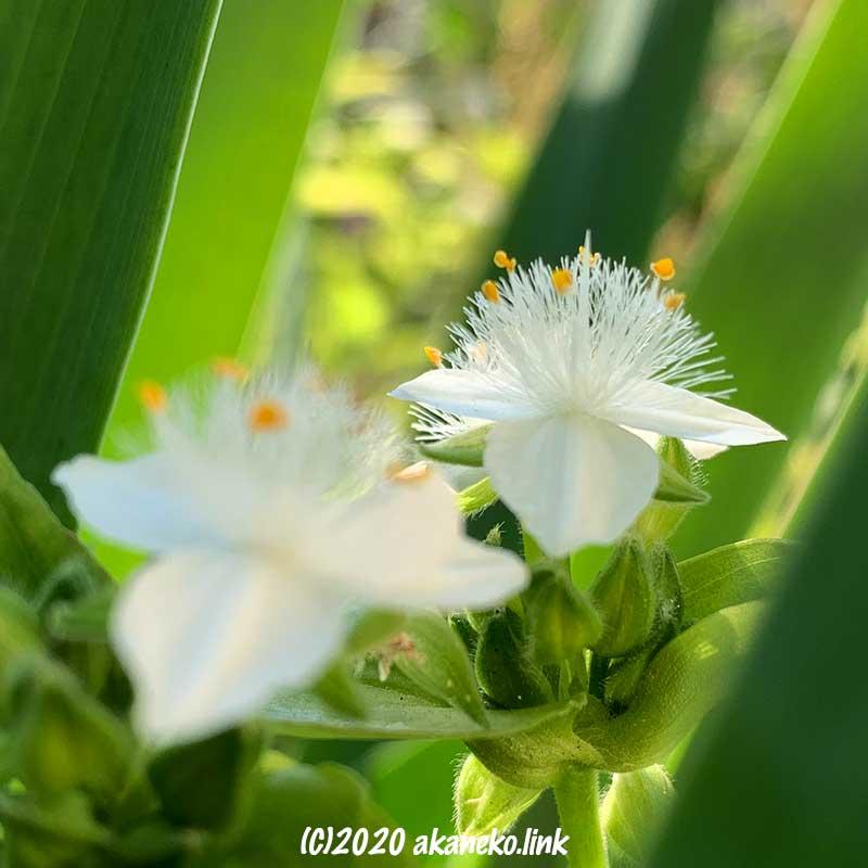 フサフサ毛のトキワツユクサの真っ白な花