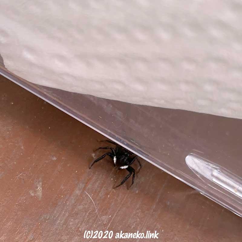 飼育ケースの下に潜む小さな蜘蛛アダンソンハエトリ