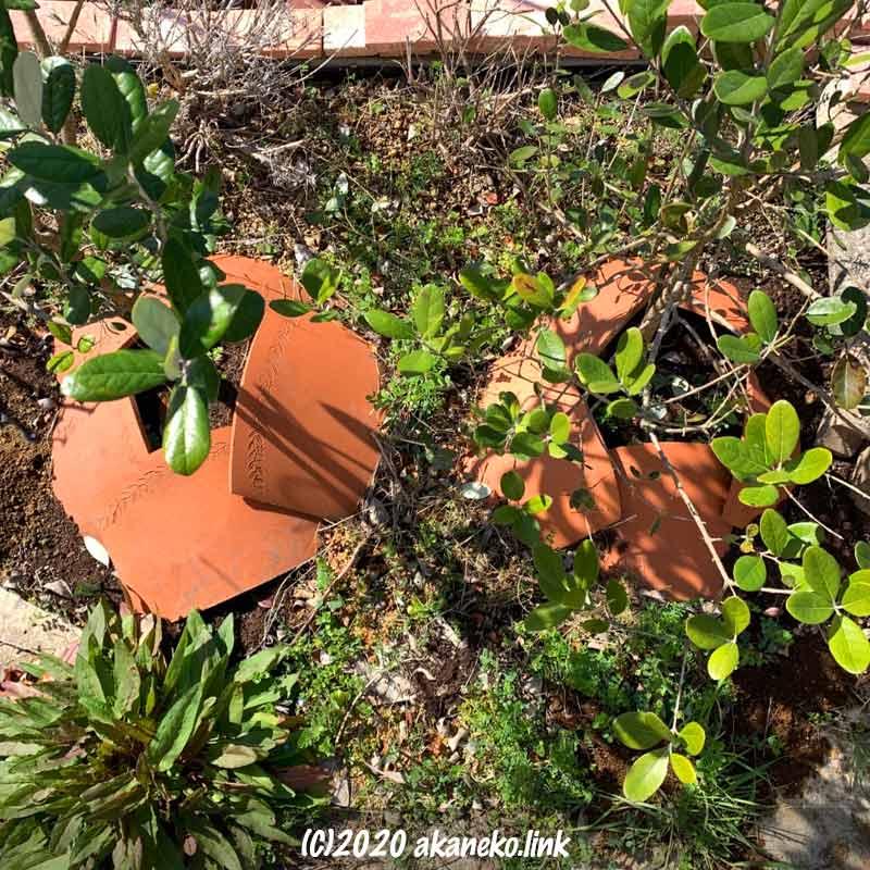 葉がまばらな3月の庭植えフェイジョア