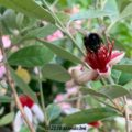 フェイジョアの蜜を吸う黒いハナバチ
