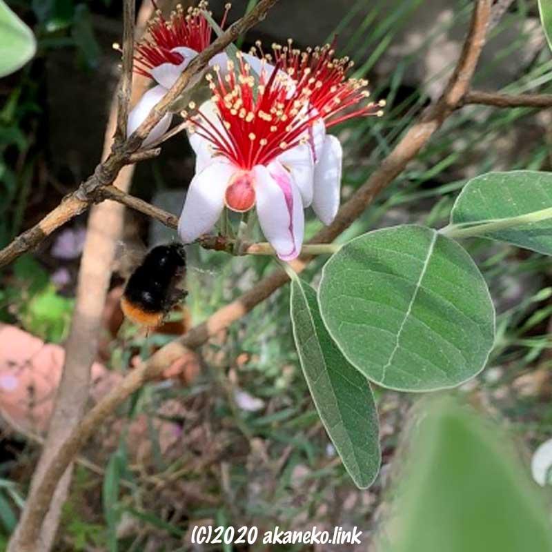フェイジョアの花にやってきたマルハナバチ
