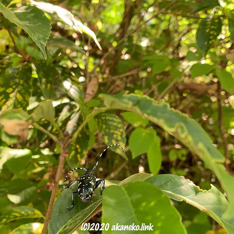 林の葉の上を逃げるゴマダラカミキリのお尻