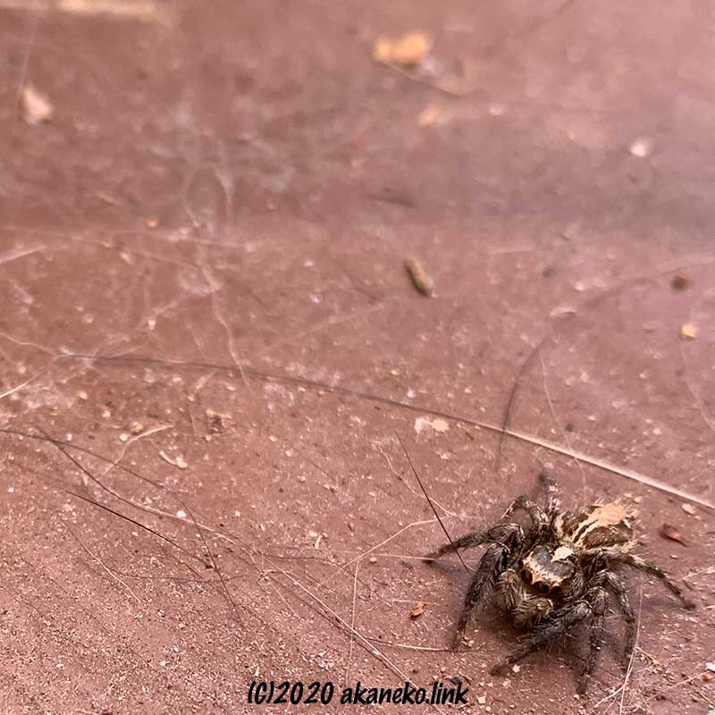 チャスジハエトリグモのオス