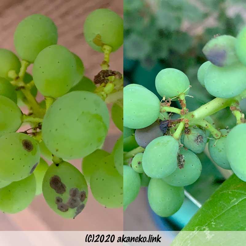 葡萄(ヒムロッドシードレス)の果実の異変