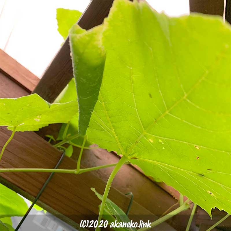 葡萄に葉巻虫発生