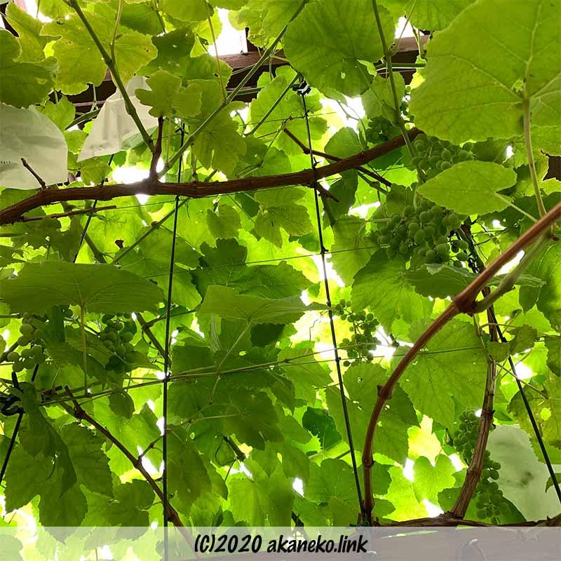 果実肥大中の葡萄ヒムロッドシードレス