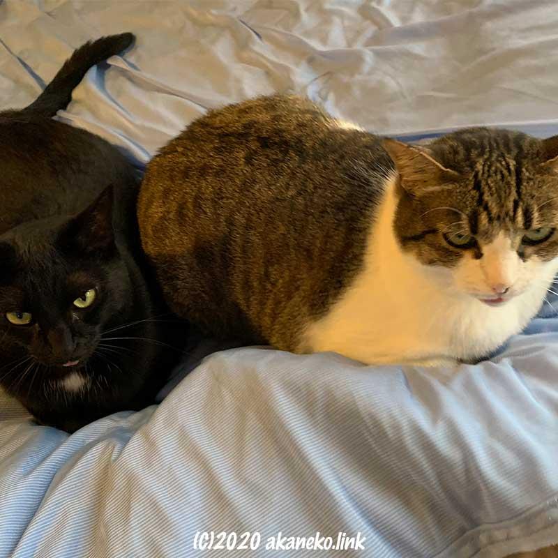 上目遣いで睨みつける2匹の猫