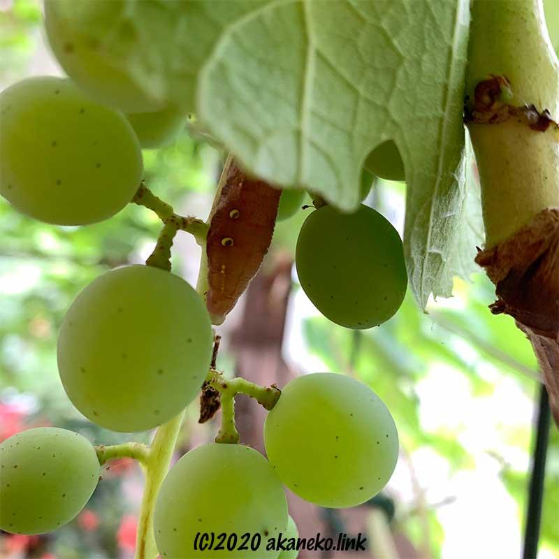 葡萄の房から顔を覗かせる茶色い芋虫(コスズメ)
