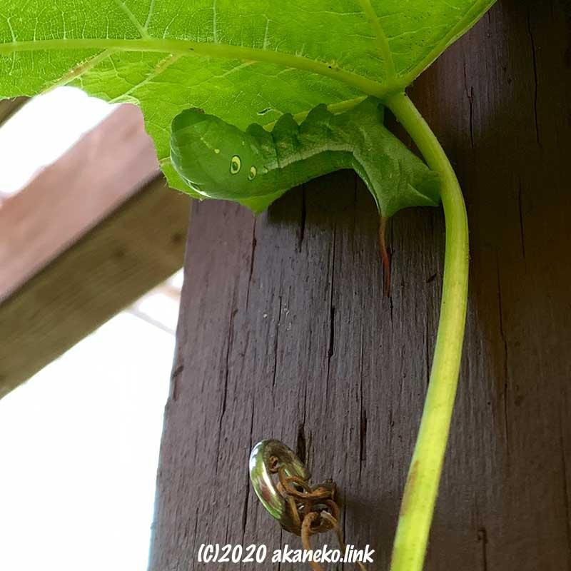 葡萄の葉裏にくっついている緑色の芋虫(コスズメ)