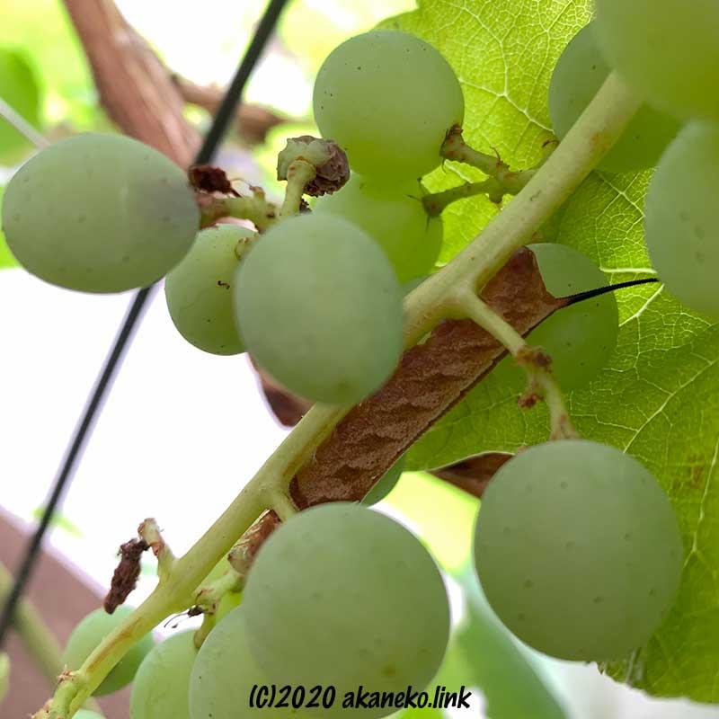 葡萄の房と茶色いスズメガ(コスズメ)の幼虫