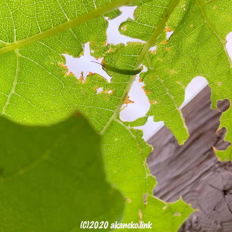 葡萄の葉裏にくっついている緑色の小さな芋虫(コスズメの幼齢幼虫)