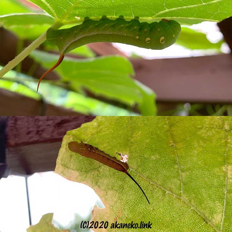 葡萄の葉についた緑と茶色の芋虫、スズメガ(コスズメ)の幼虫