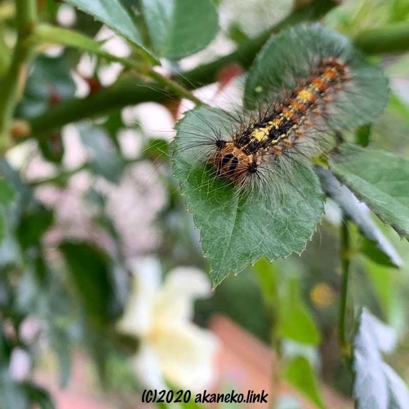 バラの葉の上にいるマイマイガの幼虫