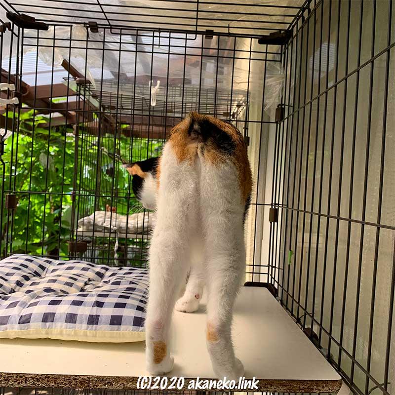 しっぽのない三毛猫のお尻