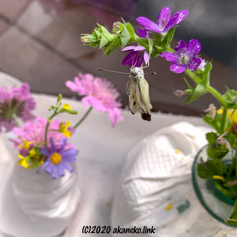飼育ケースの中の花にぶら下がる羽がくしゃくしゃのモンシロチョウ