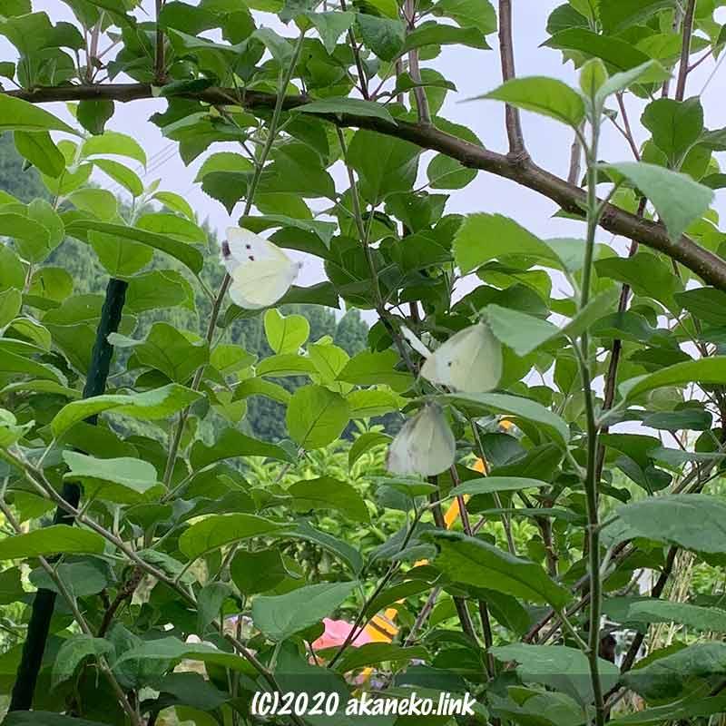 夕方りんごの葉に集まるモンシロチョウたち