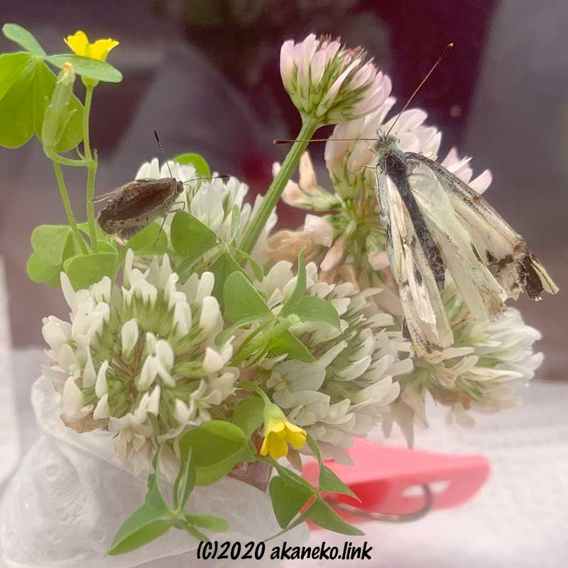 羽化不全のモンシロチョウとヤマトシジミ