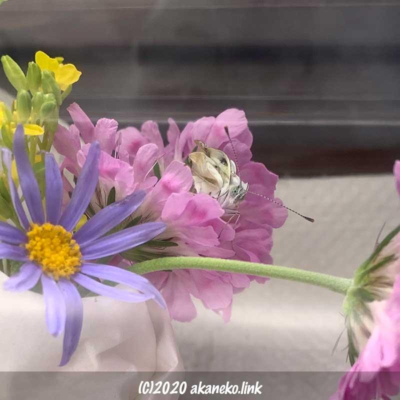 飼育ケースの中からこちらを見る羽化不全のモンシロチョウ