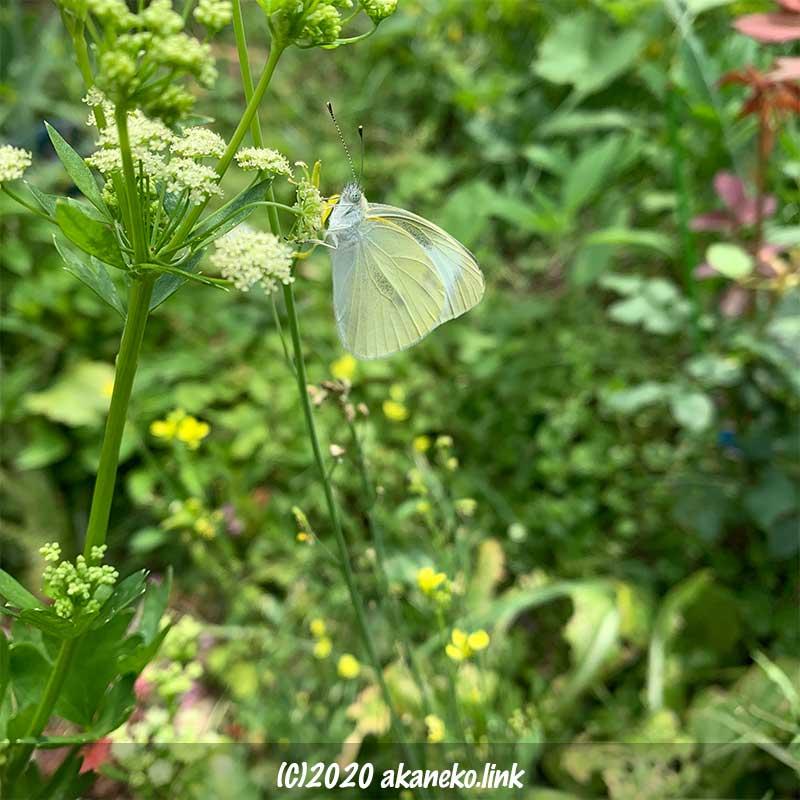 セロリの花の蜜を吸うモンシロチョウ