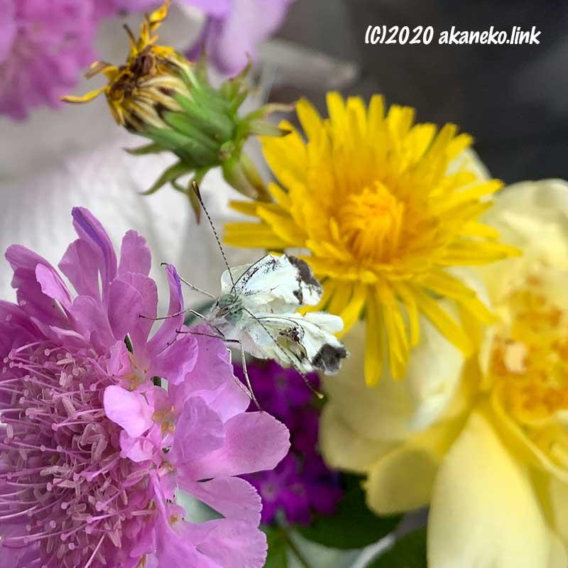 スカビオサの花の上の羽がくしゃくしゃのモンシロチョウ