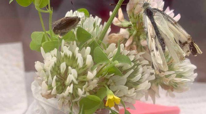 羽化不全のモンシロチョウ、死す:蝶(成虫)飼育記録3