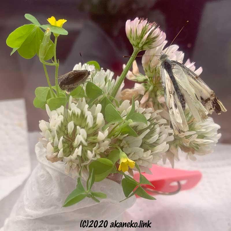 飼育ケースでシロツメクサにつかまっている羽化不全のモンシロチョウとヤマトシジミ