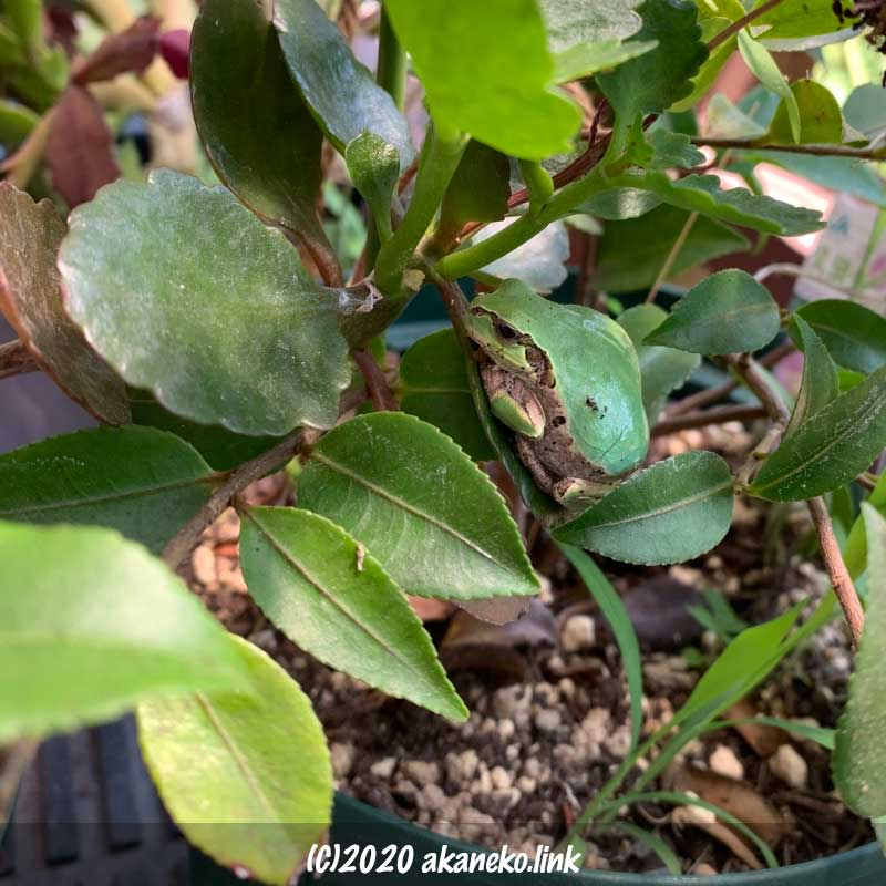 植木鉢のカランコエの葉っぱの上のカエル(ニホンアマガエル)