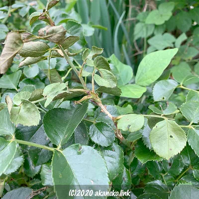 ゴマダラカミキリに表皮を食べられて枯れたバラの枝