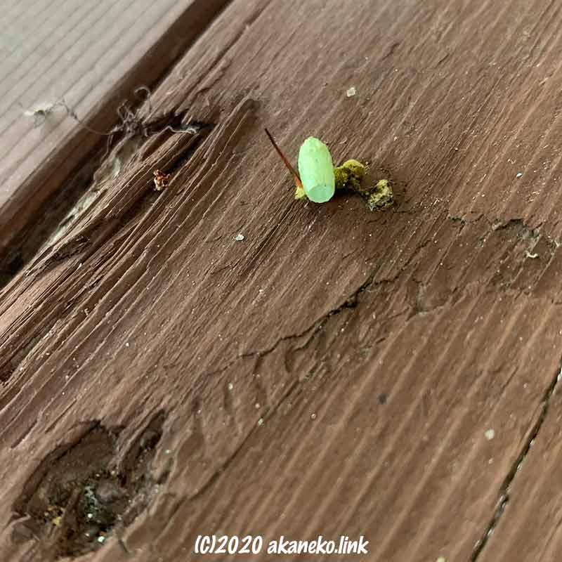 コスズメの脱皮あとと羽化後の寄生蜂のまゆ