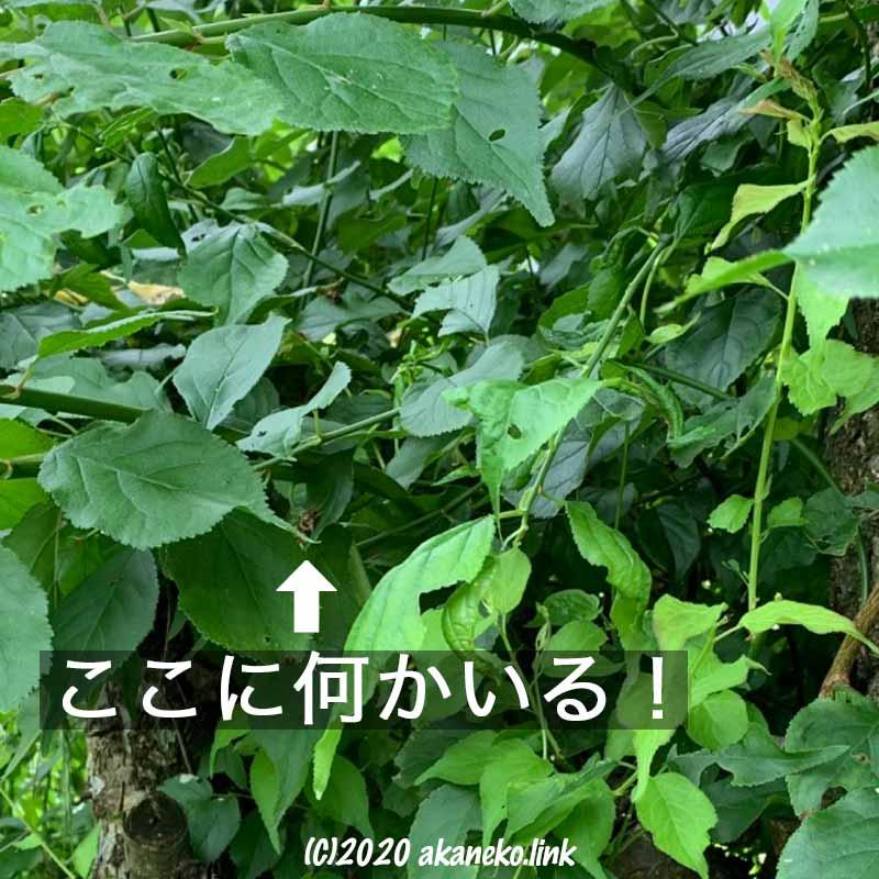 梅の葉に隠れているツマキリヨトウを発見