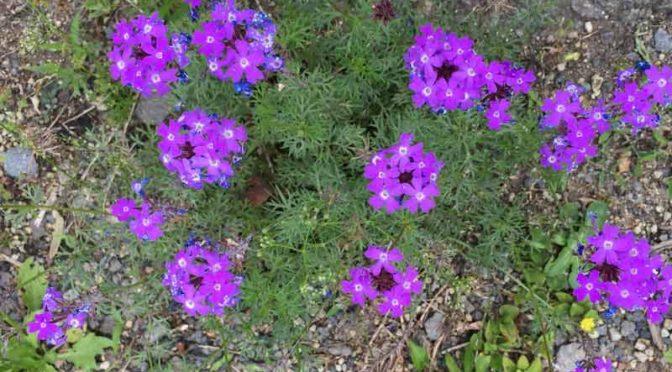 我が家の砂漠地帯にも花が咲く:乾燥に強いオオバコ、バーベナ、庭石菖