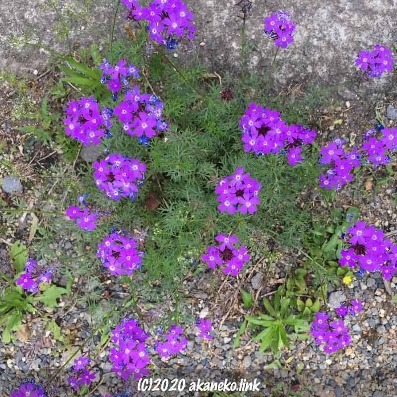 駐車場に咲く乾燥に強いバーベナ