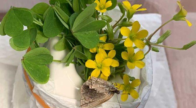 カタバミの黄色い花から蜜を吸う翅がクシャクシャのヤマトシジミ