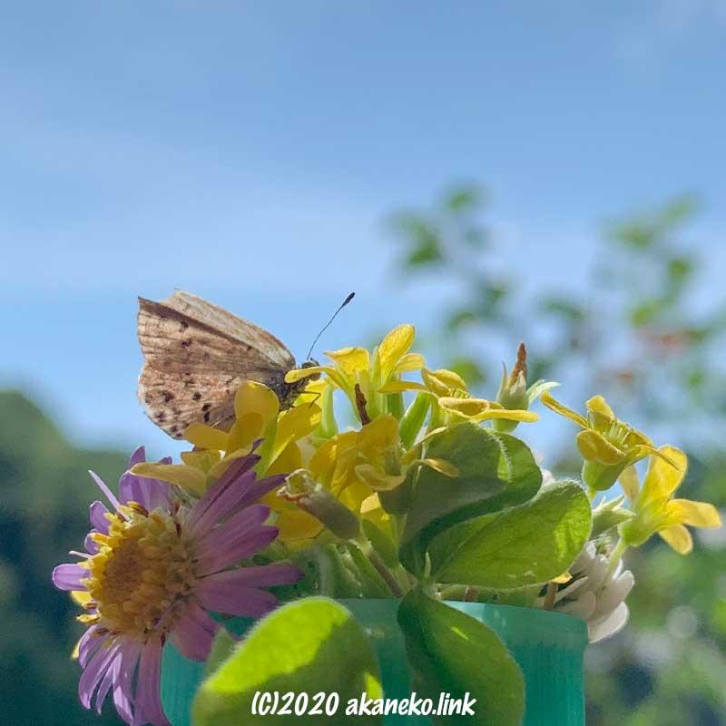 陽光の中で吸蜜する羽化不全のヤマトシジミ
