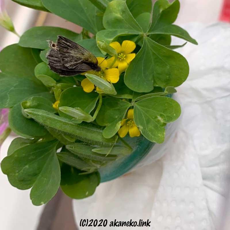カタバミの花の蜜を吸う羽化不全のヤマトシジミ