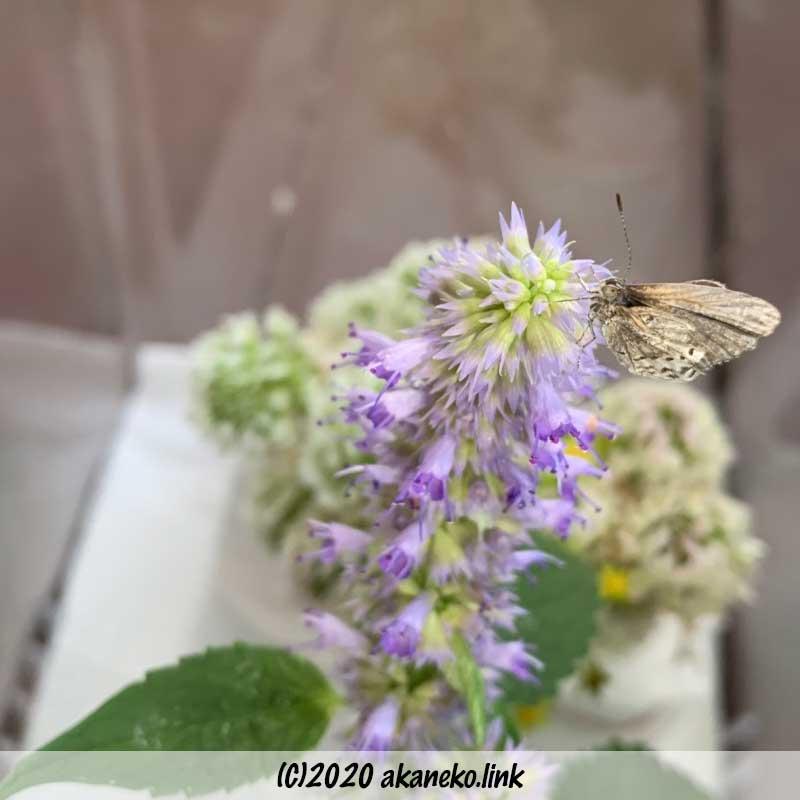 飼育ケースの中でアニスヒソップの花のてっぺんにいる羽化不全のヤマトシジミ
