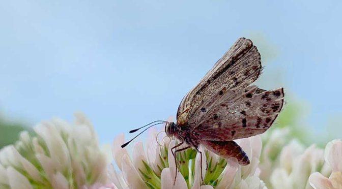 13日目のヤマトシジミ:蝶(成虫)飼育記録4