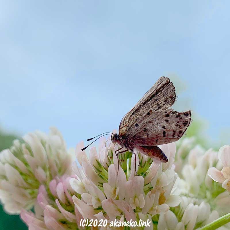シロツメクサを吸蜜中の羽化不全のシジミチョウ