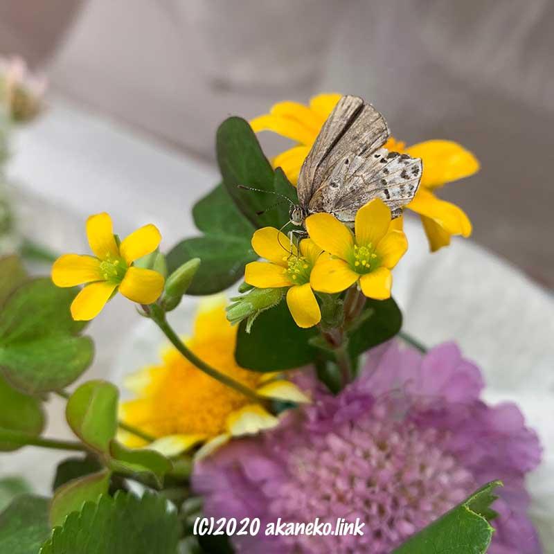 黄色いカタバミの花から蜜を吸っているヤマトシジミ