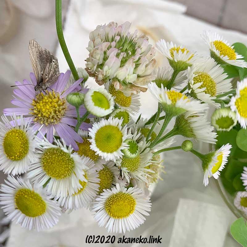 野菊から吸蜜するヤマトシジミ
