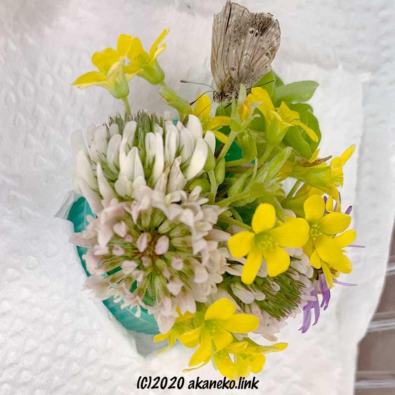 ボトルキャップに入れたカタバミの花から吸蜜するヤマトシジミ
