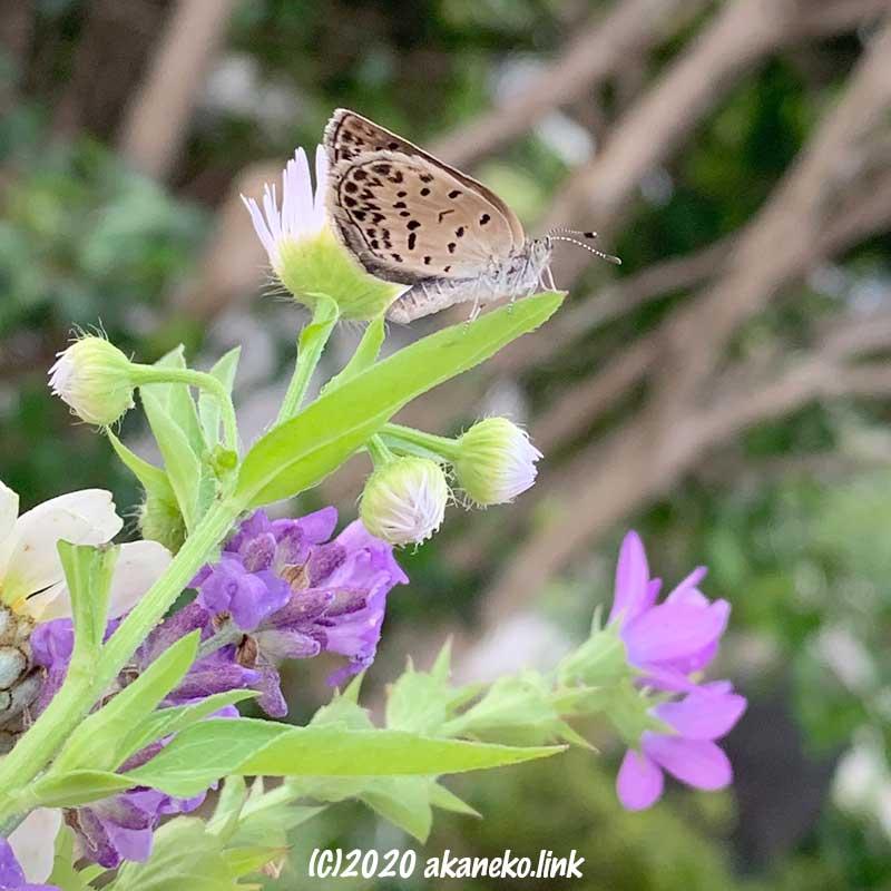 ヒメジョオンの葉にとまる羽化不全のヤマトシジミ